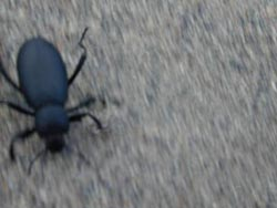 Beetle crawling down a sand dune